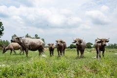 Группа в составе буйволы на зеленом поле Стоковое Изображение
