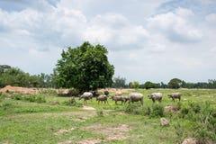 Группа в составе буйволы на зеленом поле Стоковая Фотография RF