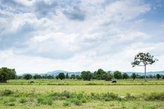 Группа в составе буйволы на зеленом поле Стоковые Изображения
