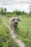 Группа в составе буйволы на зеленом поле Стоковое Изображение RF