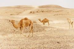 Группа в составе верблюды дромадера идя в одичалую природу жары пустыни Стоковое Изображение