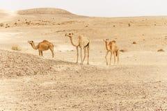Группа в составе верблюды дромадера идя в одичалую природу жары пустыни Стоковое Изображение RF