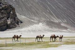 Группа в составе верблюд Стоковое Изображение RF