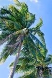 Группа в составе верхние части кокосовой пальмы с небом Стоковые Изображения