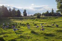 Группа в составе взрослые гусыни пася в луге на солнечный день Стоковое Изображение RF
