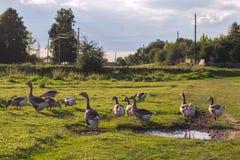 Группа в составе взрослые гусыни пася в луге на солнечный день Стоковая Фотография RF