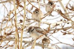 Группа в составе воробьи сидя на ветви тополя Стоковая Фотография