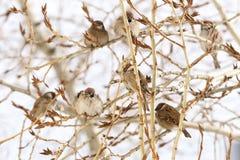 Группа в составе воробьи сидя на ветви тополя Стоковые Изображения RF