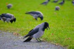 Группа в составе вороны в парке Стоковая Фотография