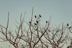 Группа в составе вороны сидя на чуть-чуть ветвях дерева Стоковая Фотография