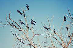 Группа в составе вороны сидя на чуть-чуть ветвях Стоковые Фото