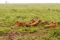 Группа в составе восточная африканская пантера leo львиц подготавливая поохотиться Стоковое Фото