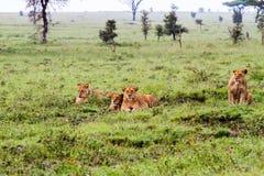 Группа в составе восточная африканская пантера leo львиц подготавливая поохотиться Стоковые Фото