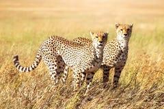 Группа в составе гепарды охотится в африканской саванне вышесказанного Tanzani стоковое изображение rf