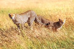 Группа в составе гепарды охотится в африканской саванне вышесказанного Танзания Национальный парк Serengeti стоковая фотография