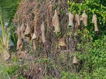 Группа в составе гнездо птицы ткача сделанное сухой травой или соломой на дереве в внешней ферме Стоковые Фото