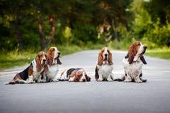 Группа в составе гончая basset собак Стоковое Изображение