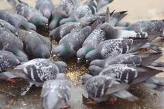 Группа в составе голуби деля их питание Стоковое Изображение RF