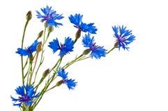 Группа в составе голубые cornflowers на белой предпосылке Стоковая Фотография