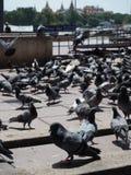 Группа в составе голубь есть еду от перемещения праздника Стоковые Фото