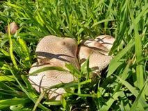 Группа в составе грибы в траве Стоковое Фото