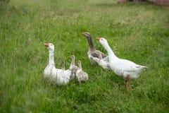 Группа в составе гусыни идя на траву, сельскую местность Стоковое Фото