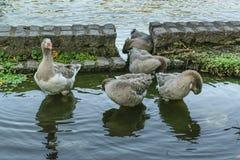 Группа в составе гусыни на озере Стоковые Изображения RF