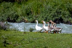 Группа в составе гусыни приближает к реке Стоковая Фотография