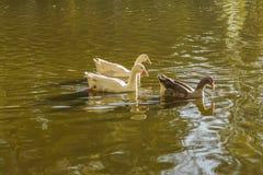 Группа в составе гусыни плавая на озере Стоковое фото RF