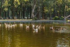 Группа в составе гусыни плавая на озере Стоковое Изображение