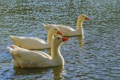 Группа в составе гусыни плавая на озере Стоковое Фото