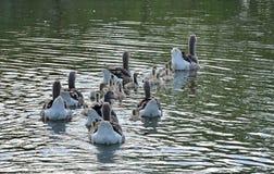 Группа в составе гусыня на озере Стоковое Изображение RF