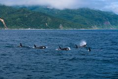 Группа в составе дельфин-касатки плавая в море Охотска около полуострова Shiretoko Стоковые Изображения