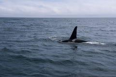 Группа в составе дельфин-касатки плавая в море Охотска около полуострова Shiretoko Стоковое Изображение