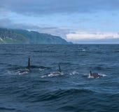 Группа в составе дельфин-касатки плавая в море Охотска около полуострова Shiretoko Стоковые Изображения RF