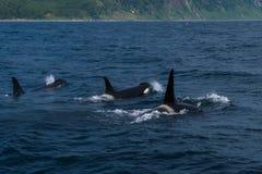 Группа в составе дельфин-касатки плавая в море Охотска около полуострова Shiretoko Стоковая Фотография RF