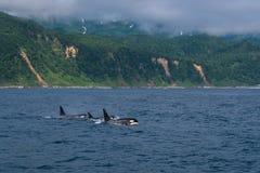 Группа в составе дельфин-касатки плавая в море Охотска около полуострова Shiretoko Стоковое Фото