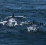 Группа в составе дельфин-касатки плавая в море Охотска около полуострова Shiretoko Стоковая Фотография