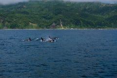 Группа в составе дельфин-касатки плавая в море Охотска около полуострова Shiretoko Стоковые Фотографии RF