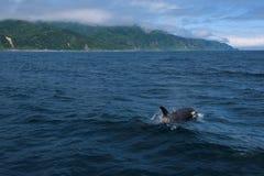 Группа в составе дельфин-касатки плавая в море Охотска около полуострова Shiretoko Стоковые Фото