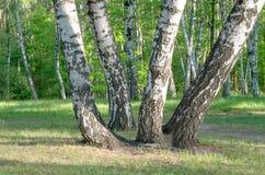 Группа в составе деревья березы, хоботы стоковые изображения