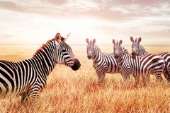 Группа в составе дикие зебры в африканской саванне против красивого захода солнца живая природа Африки Танзания Национальный парк стоковая фотография
