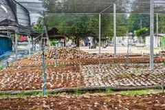 Группа в составе дух кокоса приставной резак аранжирует, сортирует аккуратные подготовки для таких разнообразий для засаживать ко стоковое фото