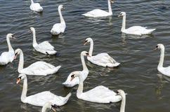 Группа в составе лебеди Стоковое Фото