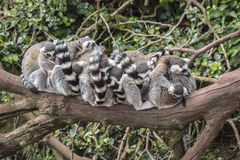 Группа в составе лемуры на ветви дерева Стоковые Изображения