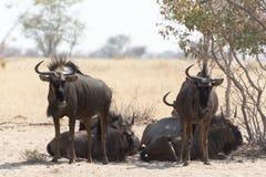 Группа в составе ленивые голубые антилопы гну стоковое изображение rf