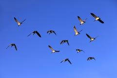 Группа в составе летания гусыни Стоковое фото RF
