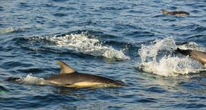 Группа в составе дельфины, плавая в океане и охотясь для рыб Стоковая Фотография