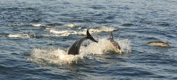 Группа в составе дельфины, плавая в океане и охотясь для рыб Стоковое Изображение RF
