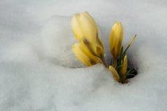 Группа в составе желтые цветки крокуса в снеге Стоковое фото RF